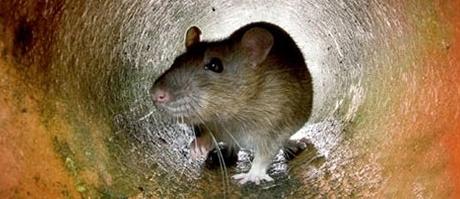 desratizacion roedores